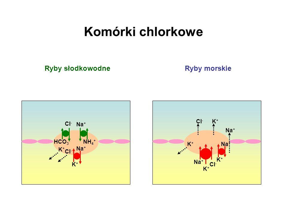 Komórki chlorkowe Ryby słodkowodne Ryby morskie Cl- K+ Cl- Na+ Na+