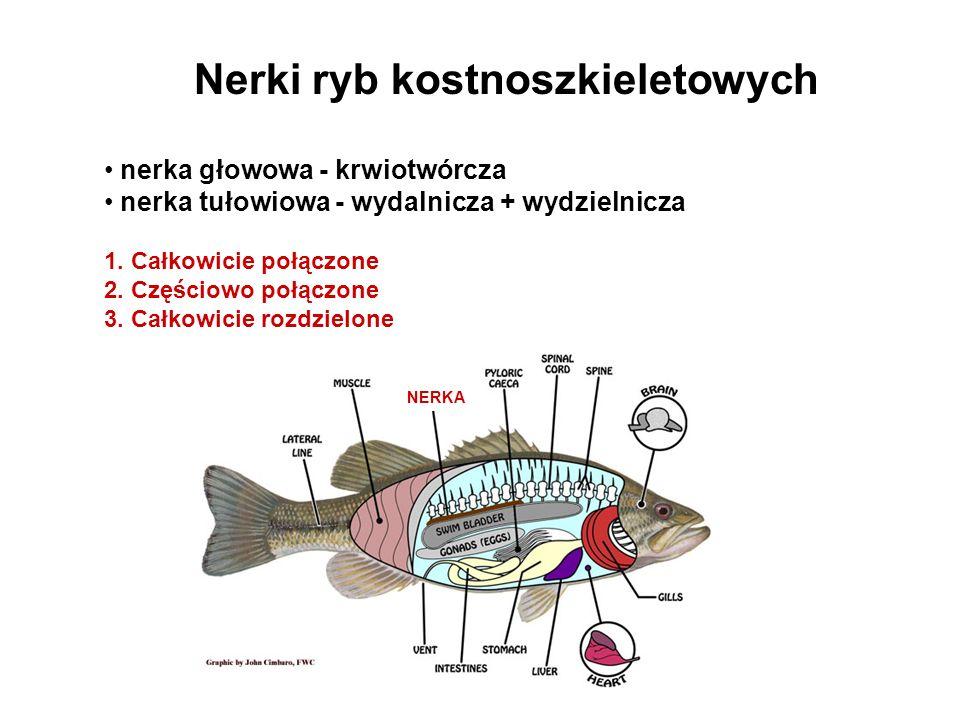 Nerki ryb kostnoszkieletowych