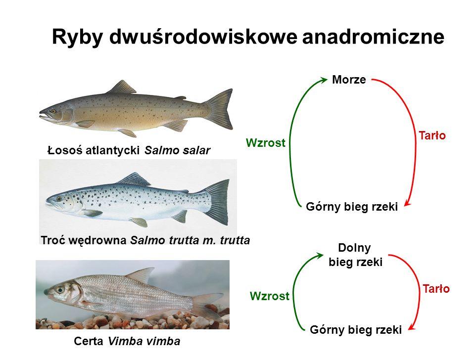 Ryby dwuśrodowiskowe anadromiczne