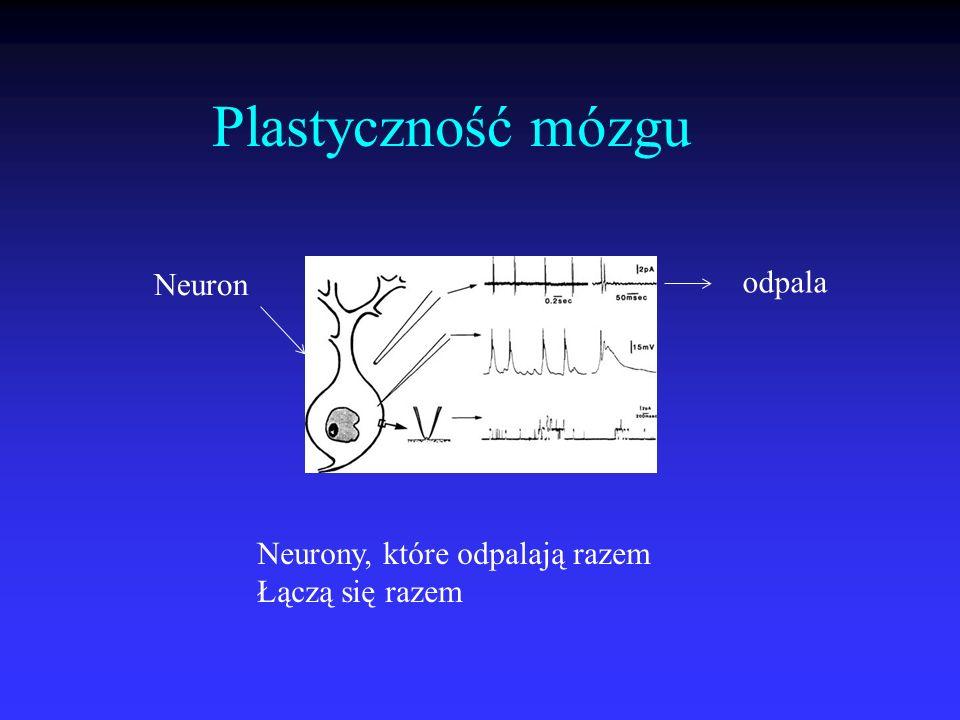 Plastyczność mózgu Neuron odpala Neurony, które odpalają razem