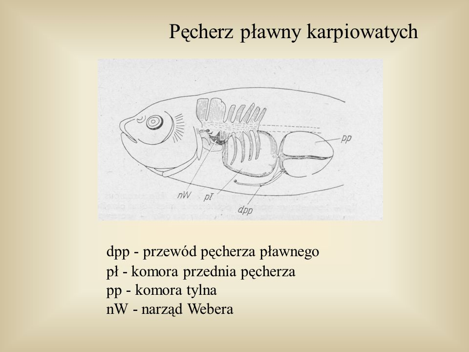 Pęcherz pławny karpiowatych