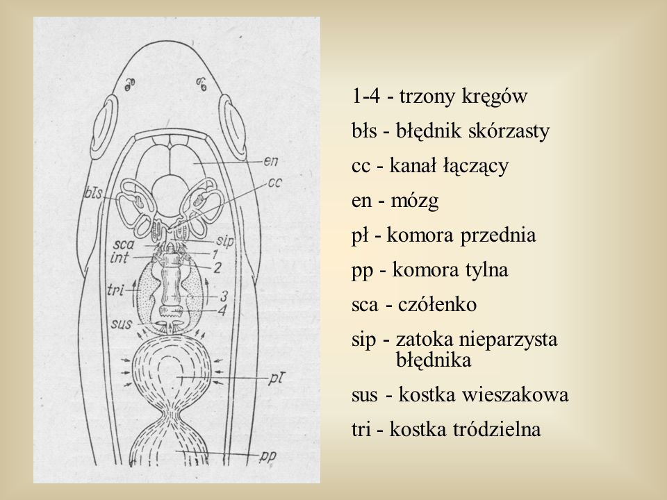 1-4 - trzony kręgów błs - błędnik skórzasty. cc - kanał łączący. en - mózg. pł - komora przednia.