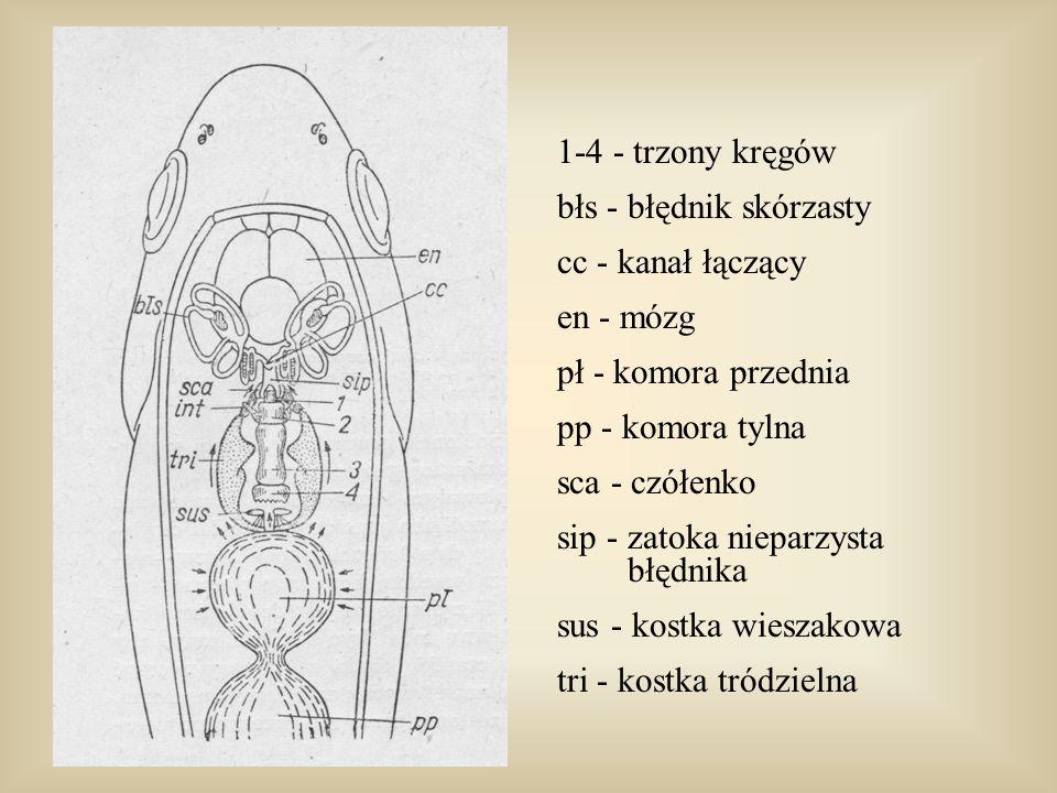 1-4 - trzony kręgówbłs - błędnik skórzasty. cc - kanał łączący. en - mózg. pł - komora przednia. pp - komora tylna.