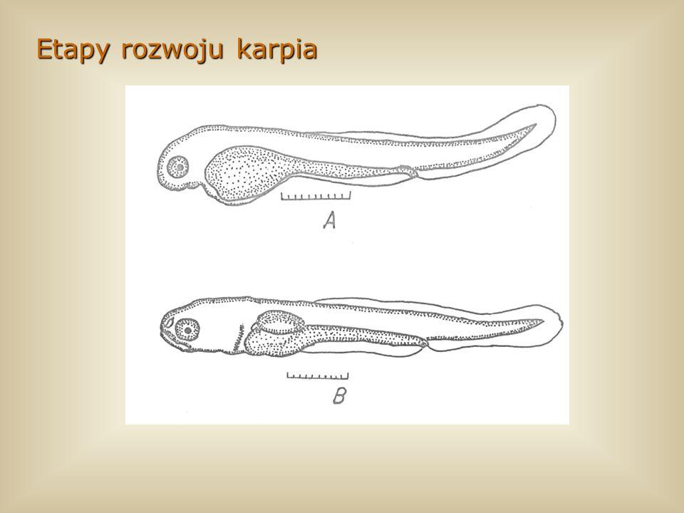 Etapy rozwoju karpiaPrzedstawię teraz króciutko na schematach jak przebiega rozwój karpia. Ułatwi to zrozumienie przedstawionych wyników.