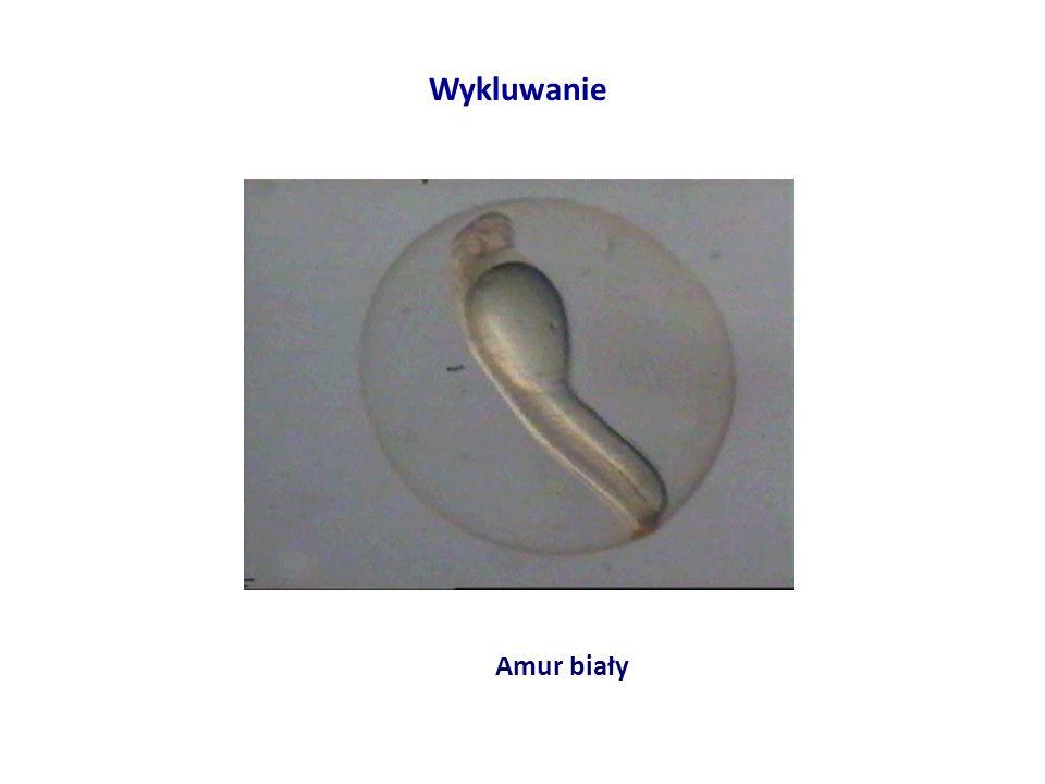 Wykluwanie Amur biały