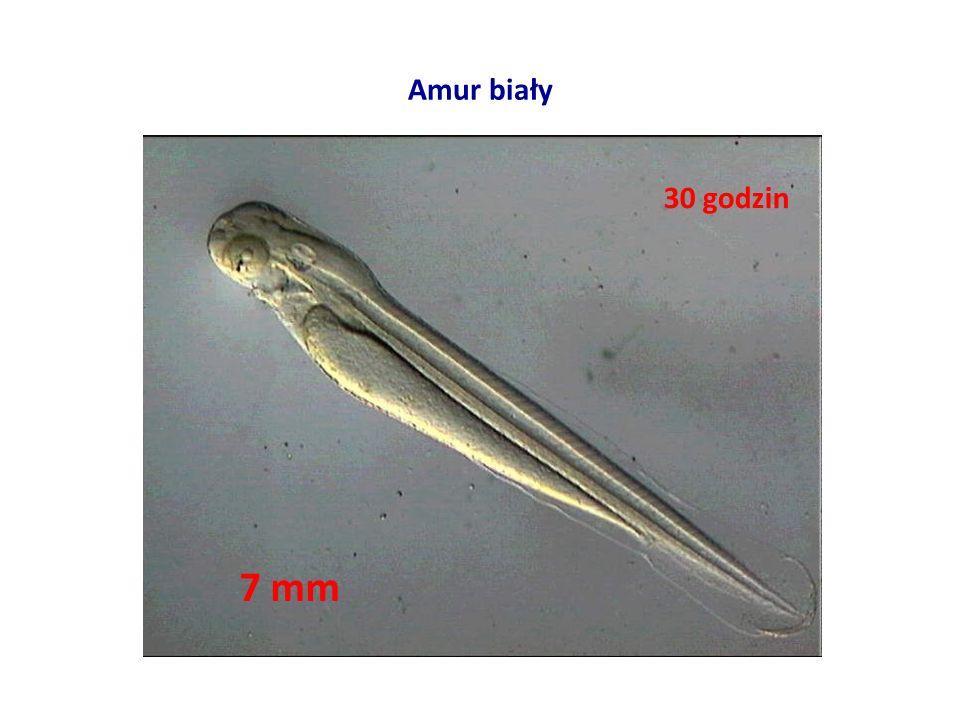 Amur biały 30 godzin 7 mm