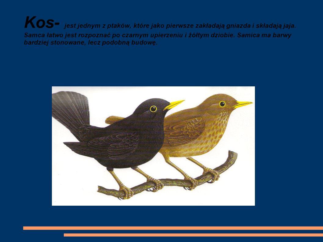 Kos- jest jednym z ptaków, które jako pierwsze zakładają gniazda i składają jaja.