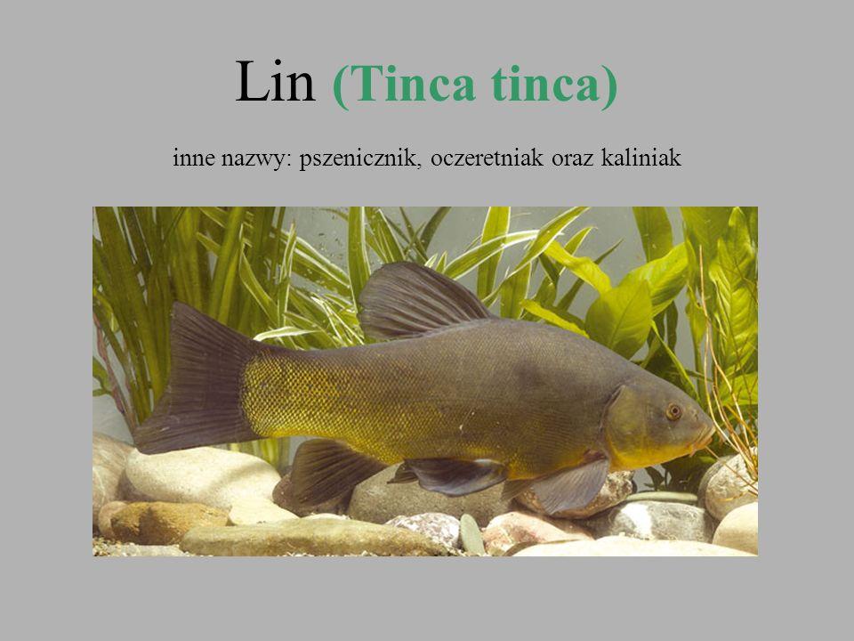 Lin (Tinca tinca) inne nazwy: pszenicznik, oczeretniak oraz kaliniak