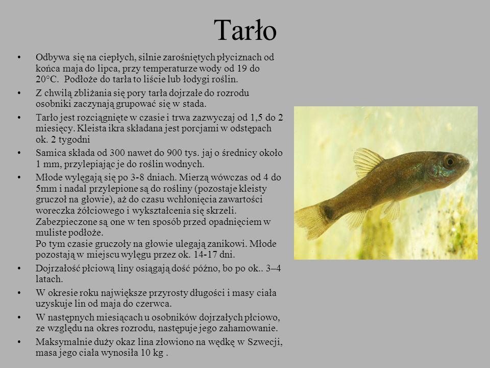 Tarło