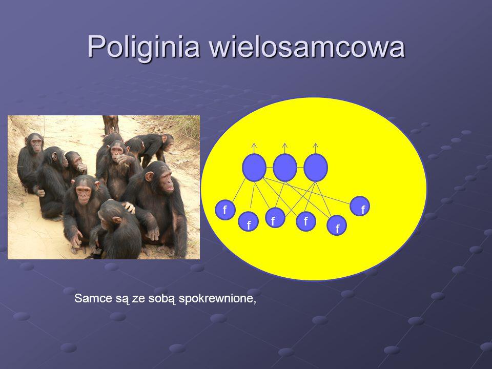Poliginia wielosamcowa