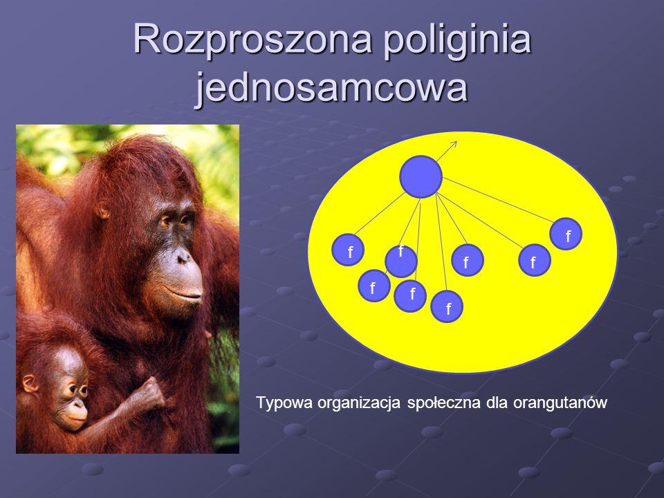 Rozproszona poliginia jednosamcowa