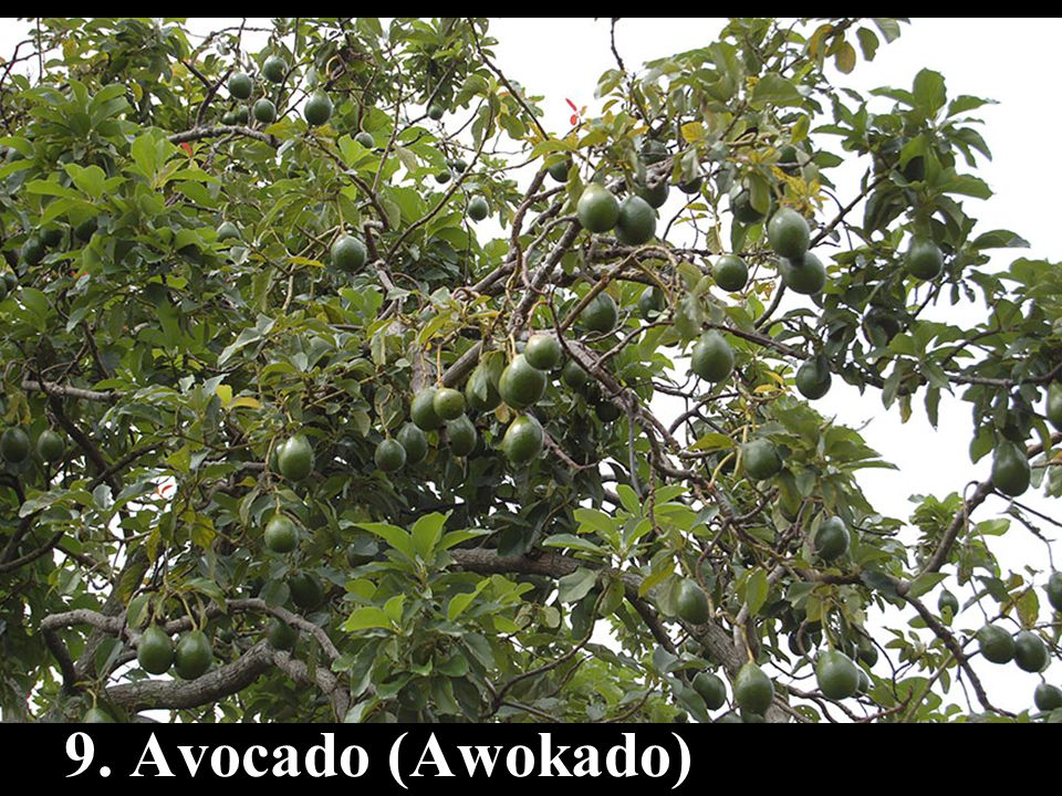 9. Avocado (Awokado)