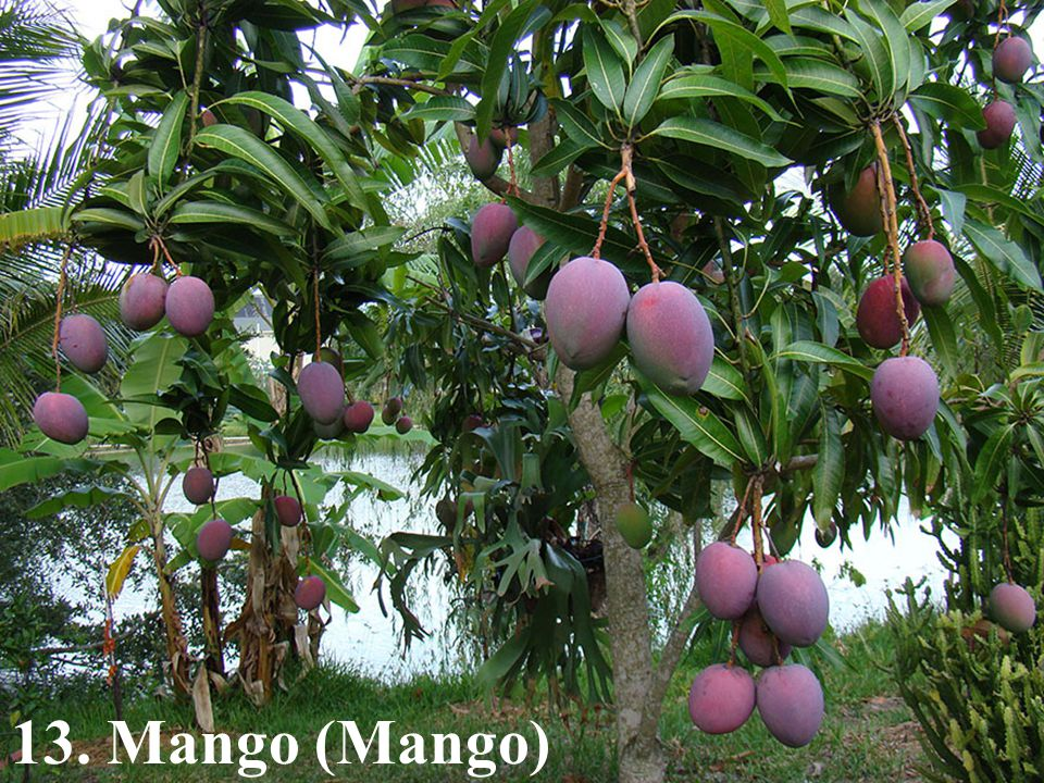 13. Mango (Mango)