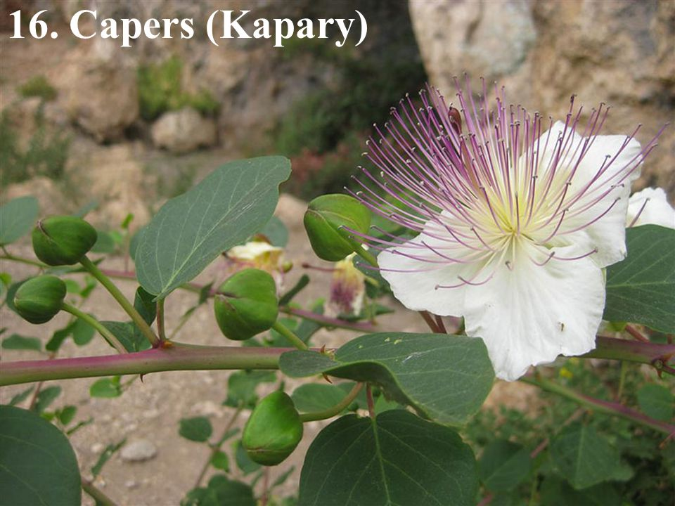 16. Capers (Kapary)