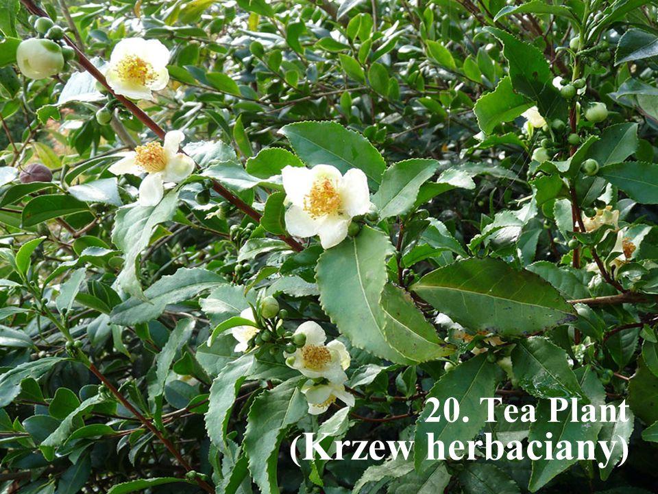 20. Tea Plant (Krzew herbaciany)
