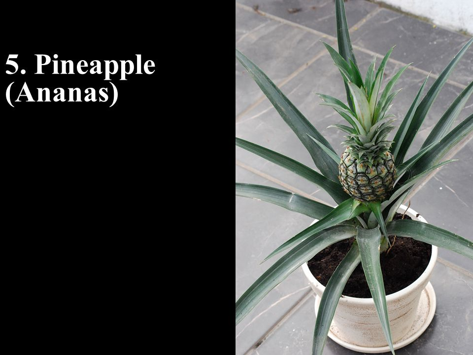 5. Pineapple (Ananas)
