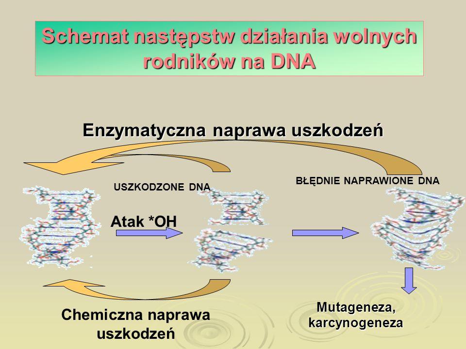 Schemat następstw działania wolnych rodników na DNA