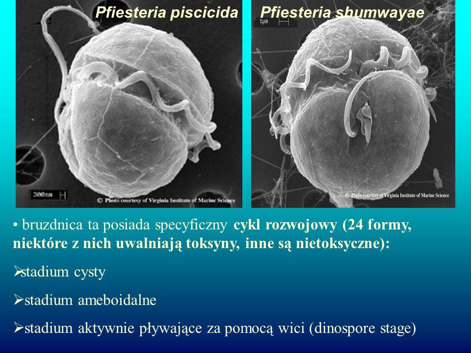 Pfiesteria piscicida Pfiesteria shumwayae.