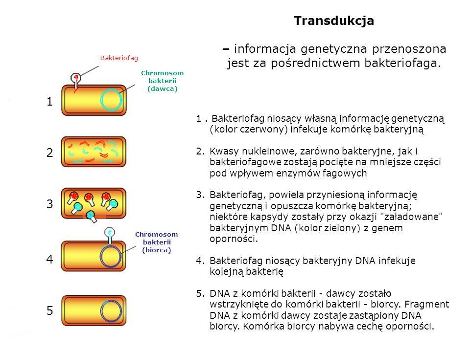 Transdukcja – informacja genetyczna przenoszona jest za pośrednictwem bakteriofaga. Bakteriofag. Chromosom bakterii.