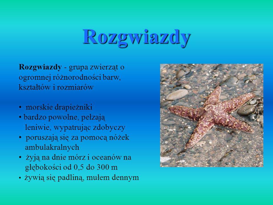Rozgwiazdy Rozgwiazdy - grupa zwierząt o ogromnej różnorodności barw, kształtów i rozmiarów. morskie drapieżniki.