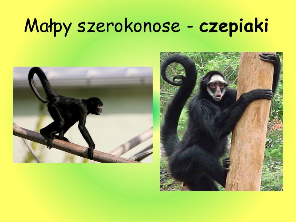 Małpy szerokonose - czepiaki