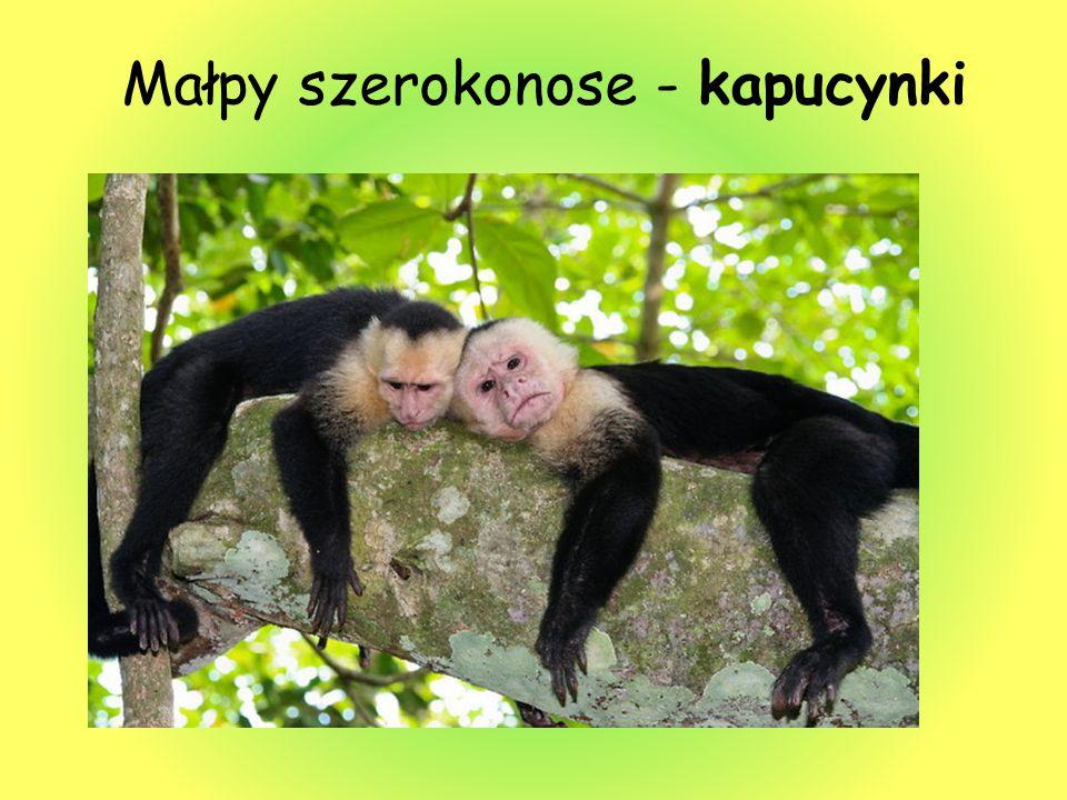 Małpy szerokonose - kapucynki