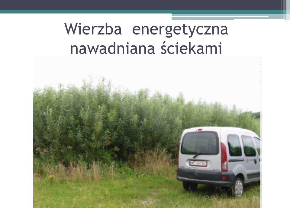 Wierzba energetyczna nawadniana ściekami
