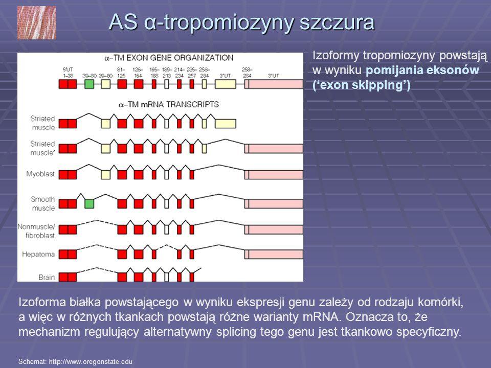 AS α-tropomiozyny szczura