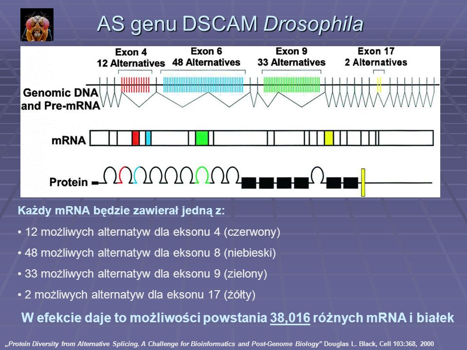 AS genu DSCAM Drosophila