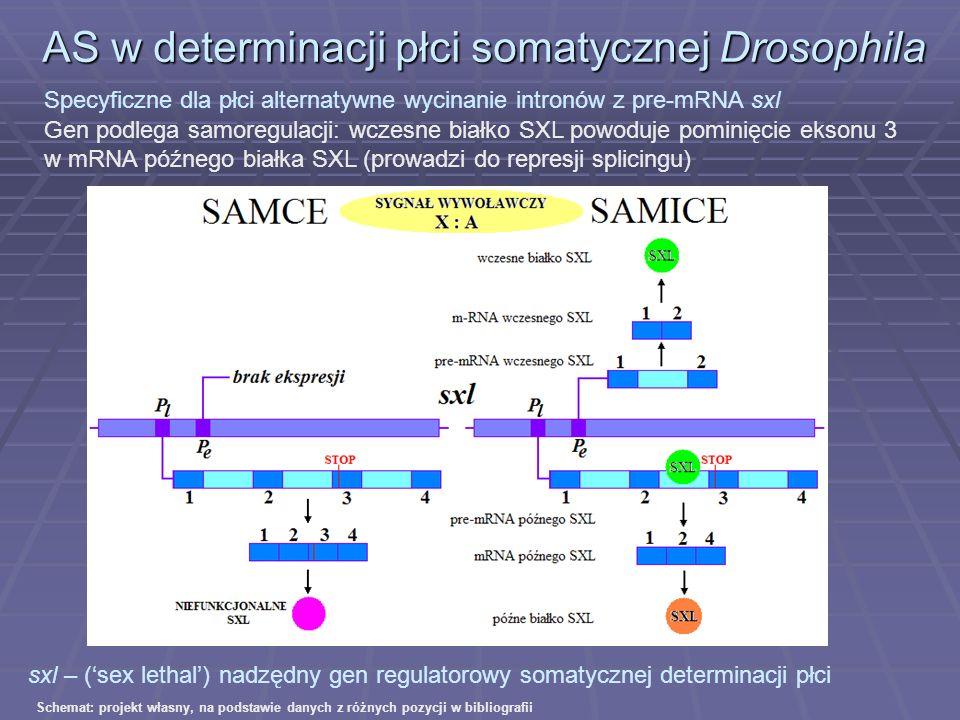 AS w determinacji płci somatycznej Drosophila