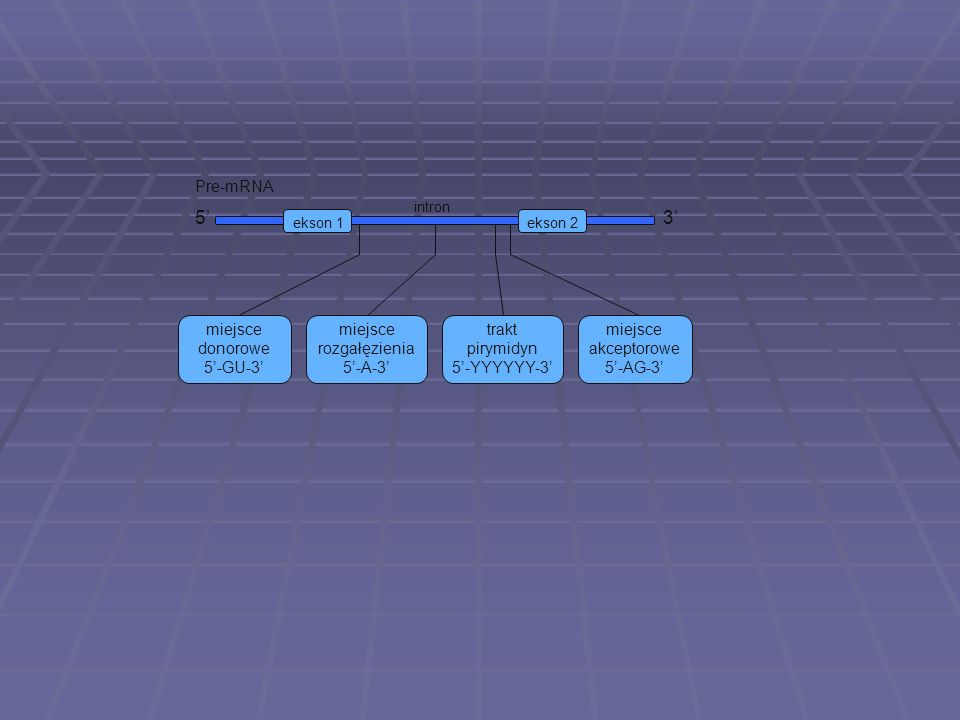 5' 3' Pre-mRNA miejsce donorowe 5'-GU-3' miejsce rozgałęzienia 5'-A-3'