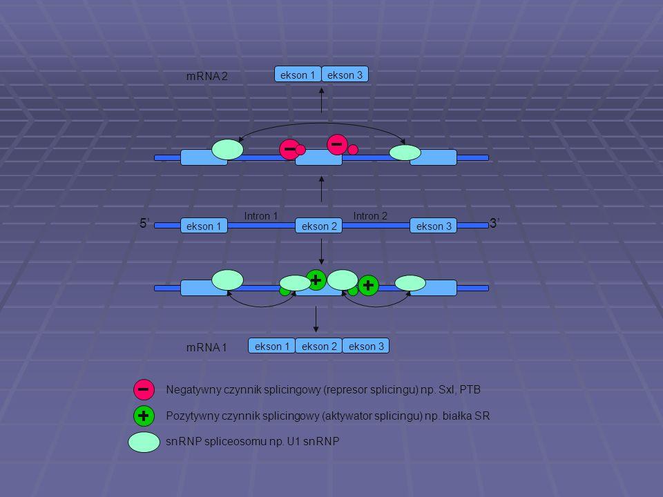 mRNA 2ekson 1. ekson 3. Intron 1. Intron 2. 5' 3' ekson 1. ekson 2. ekson 3. mRNA 1. ekson 1. ekson 2.