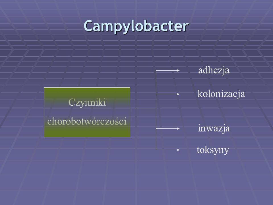 Campylobacter adhezja kolonizacja Czynniki chorobotwórczości inwazja
