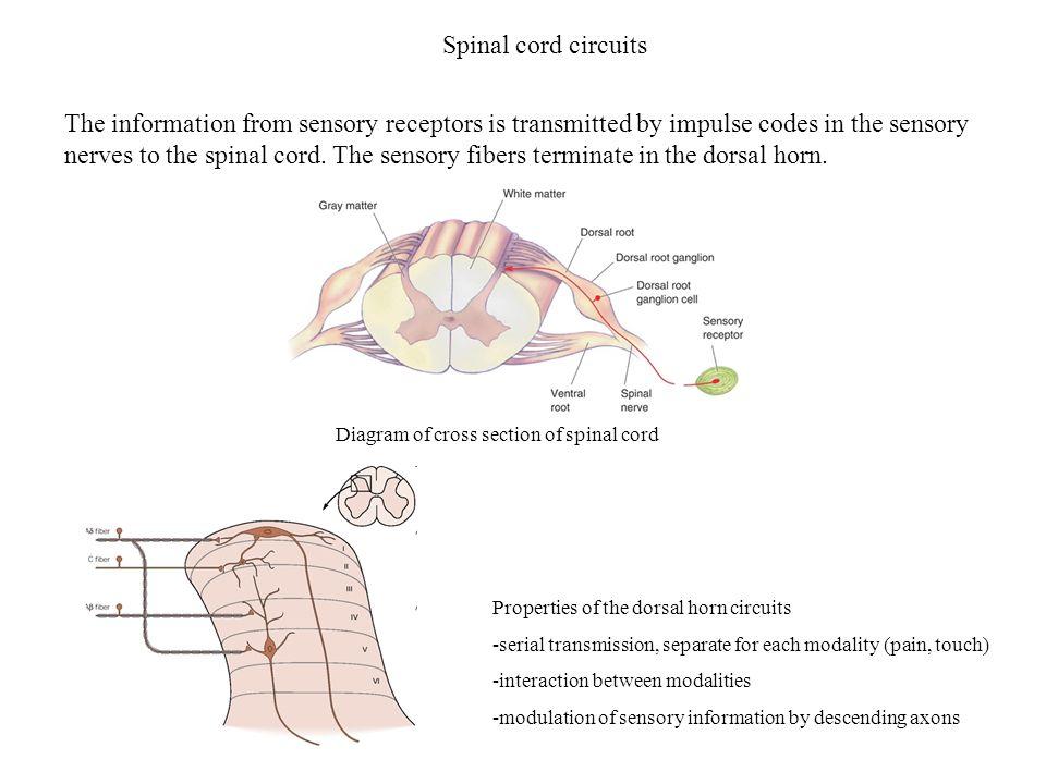 Spinal cord circuits
