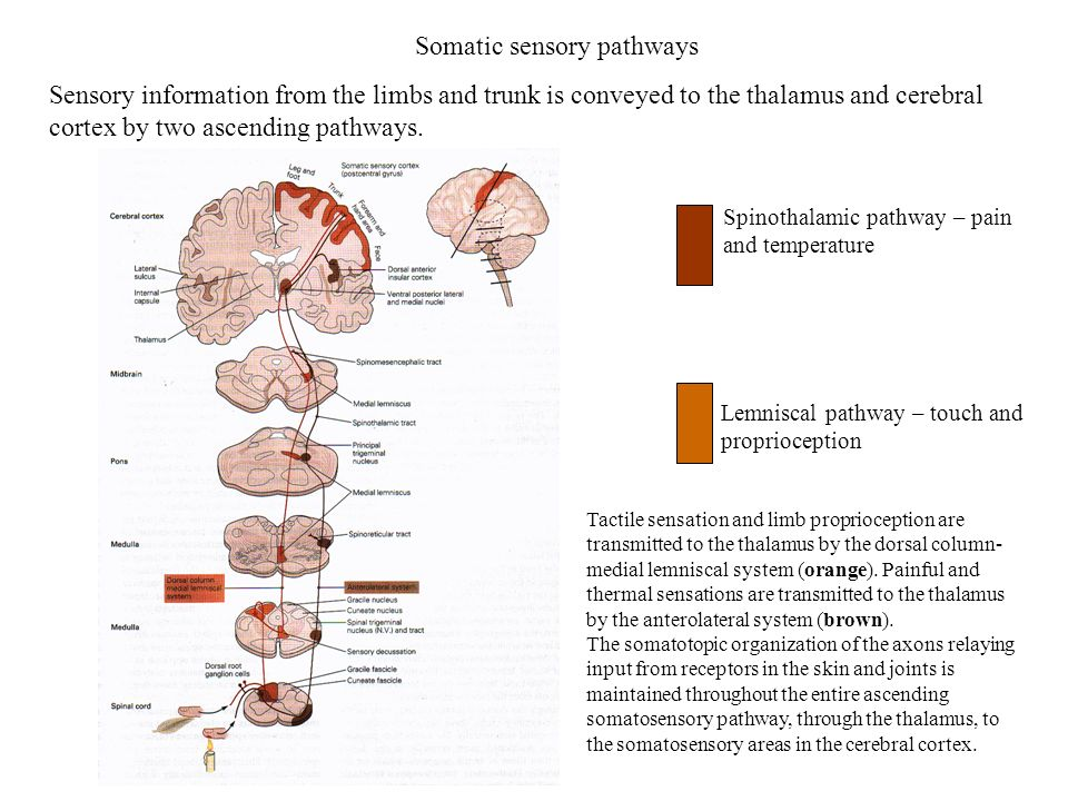 Somatic sensory pathways