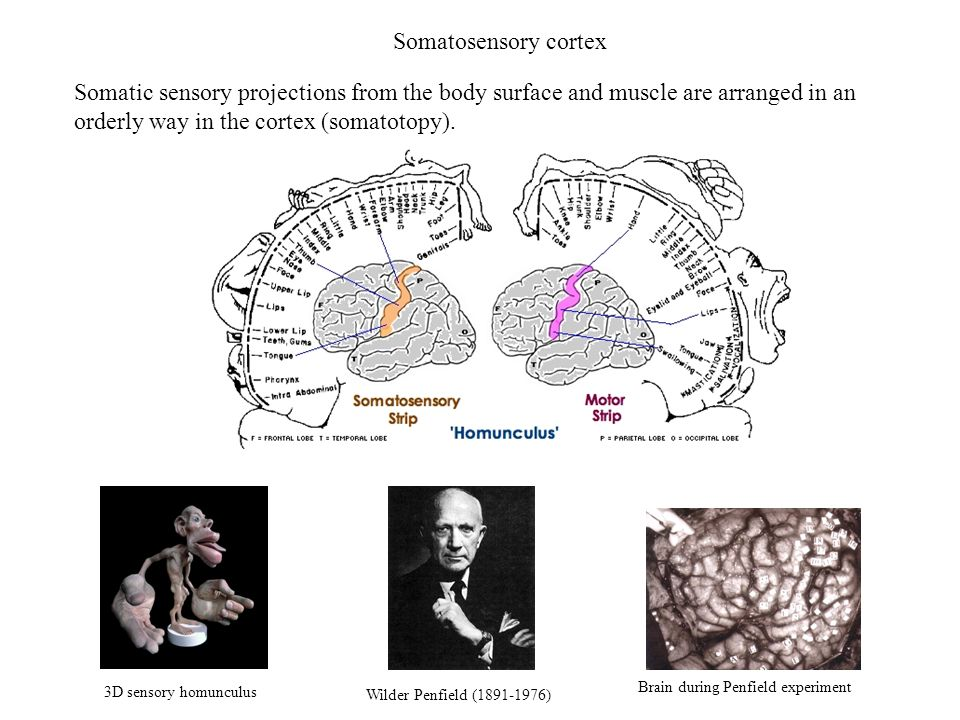 Somatosensory cortex Somatic sensory projections from the body surface and muscle are arranged in an orderly way in the cortex (somatotopy).