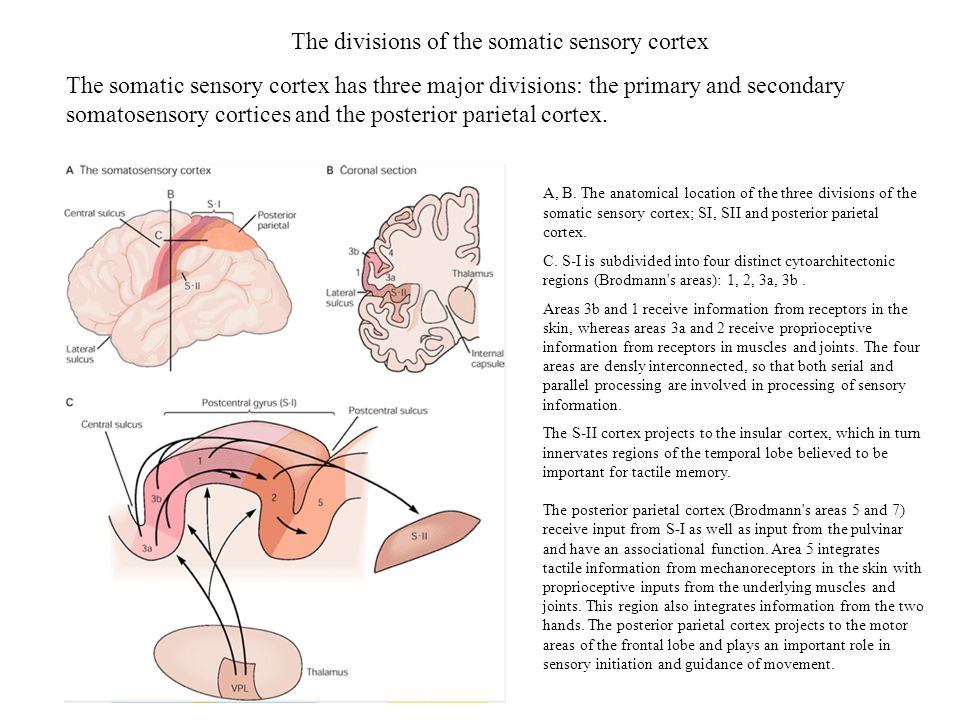 The divisions of the somatic sensory cortex