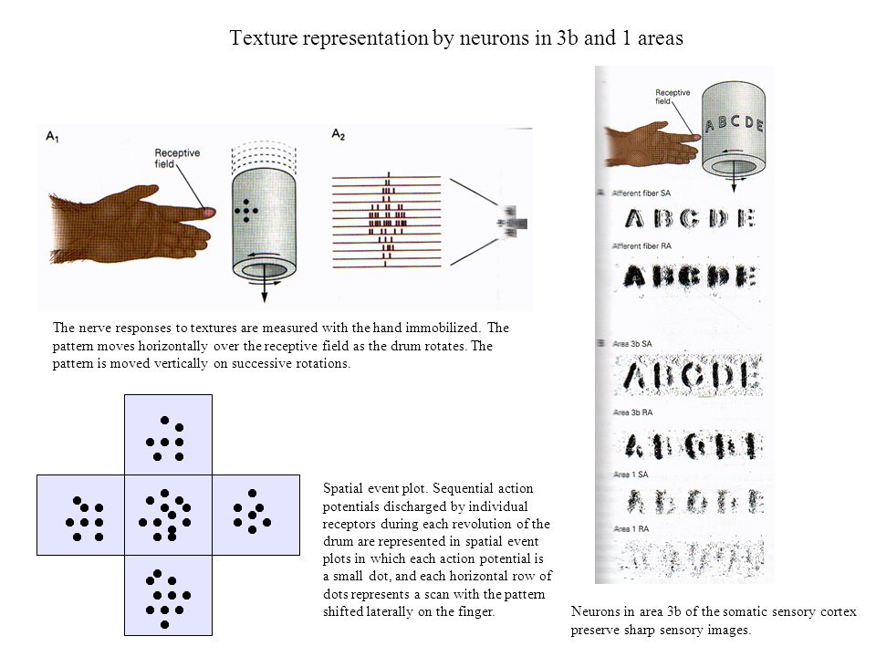 Texture representation by neurons in 3b and 1 areas