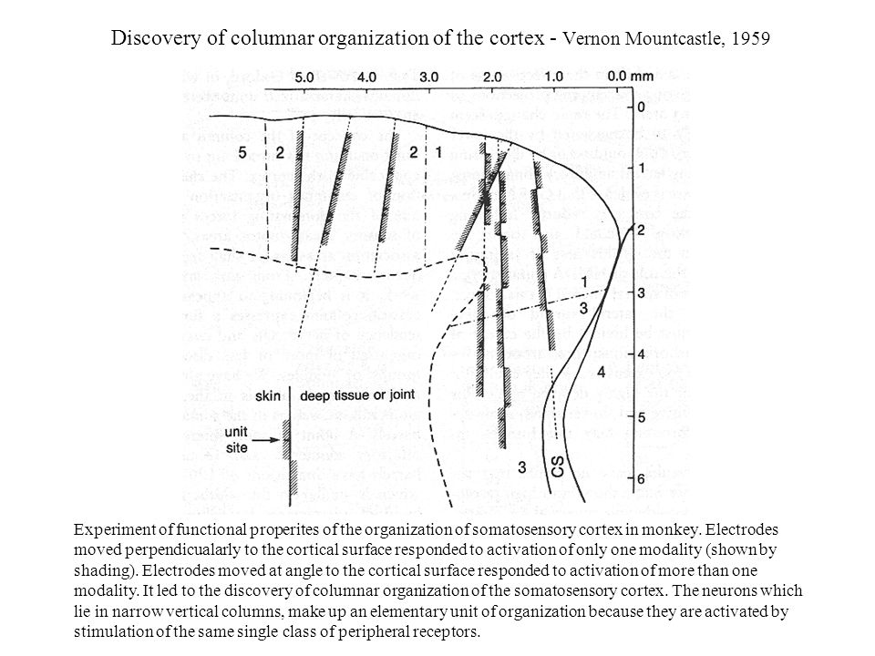 Discovery of columnar organization of the cortex - Vernon Mountcastle, 1959
