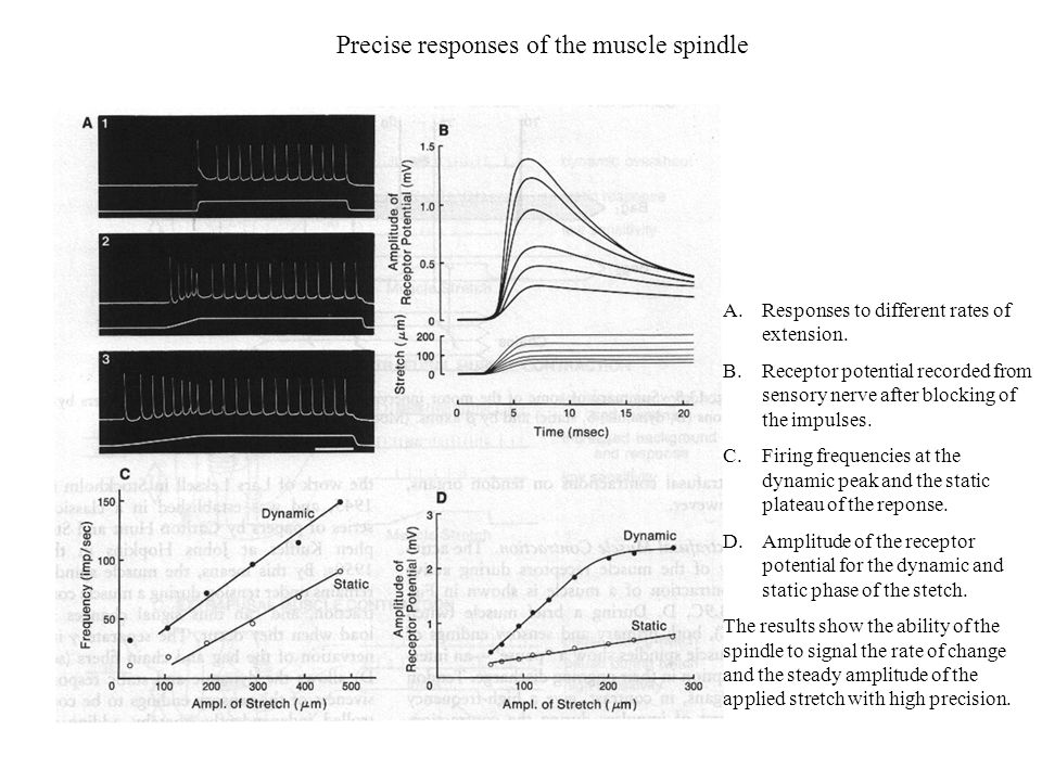 Precise responses of the muscle spindle