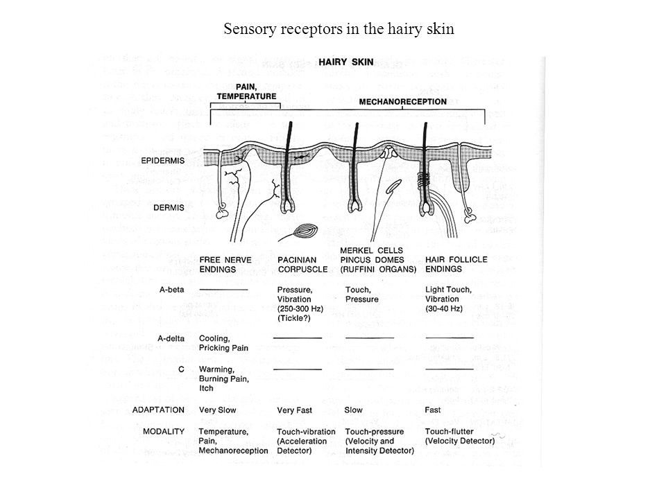 Sensory receptors in the hairy skin