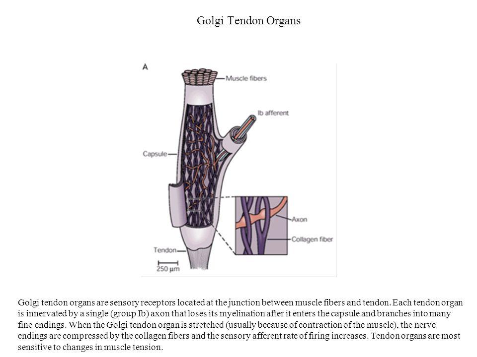 Golgi Tendon Organs