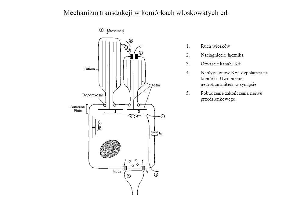 Mechanizm transdukcji w komórkach włoskowatych cd
