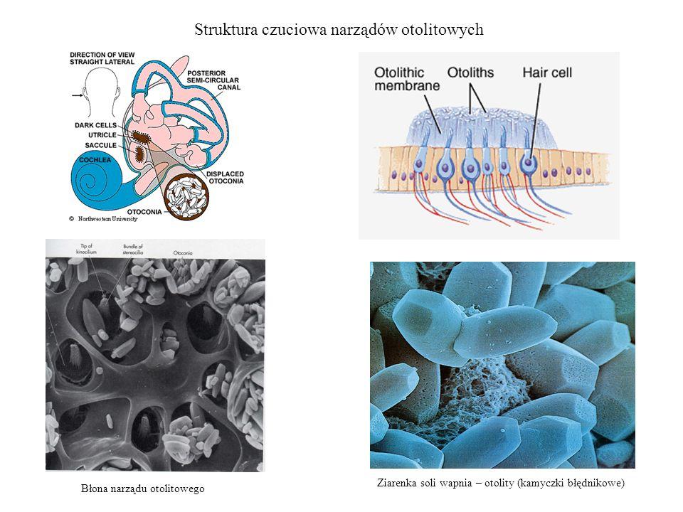 Struktura czuciowa narządów otolitowych