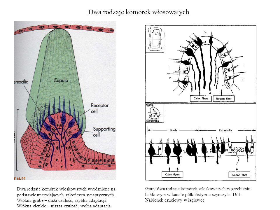 Dwa rodzaje komórek włosowatych