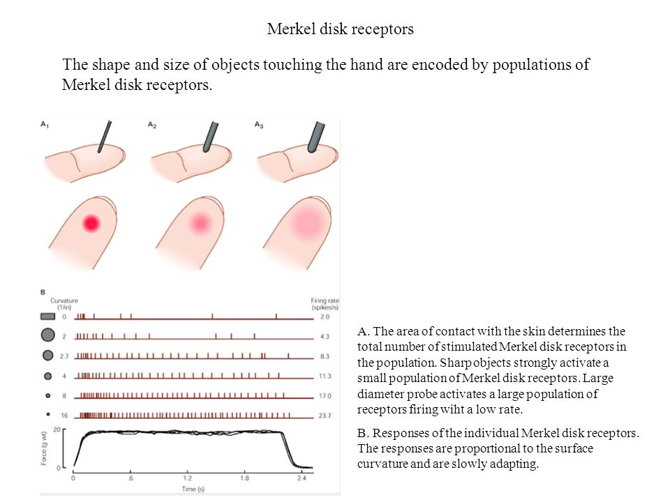 Merkel disk receptors The shape and size of objects touching the hand are encoded by populations of Merkel disk receptors.