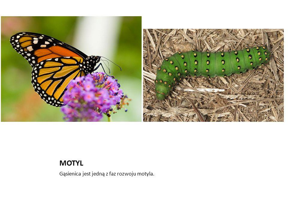 MOTYL Gąsienica jest jedną z faz rozwoju motyla.
