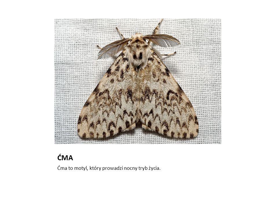Zdjęcie: Kulac ĆMA Ćma to motyl, który prowadzi nocny tryb życia.