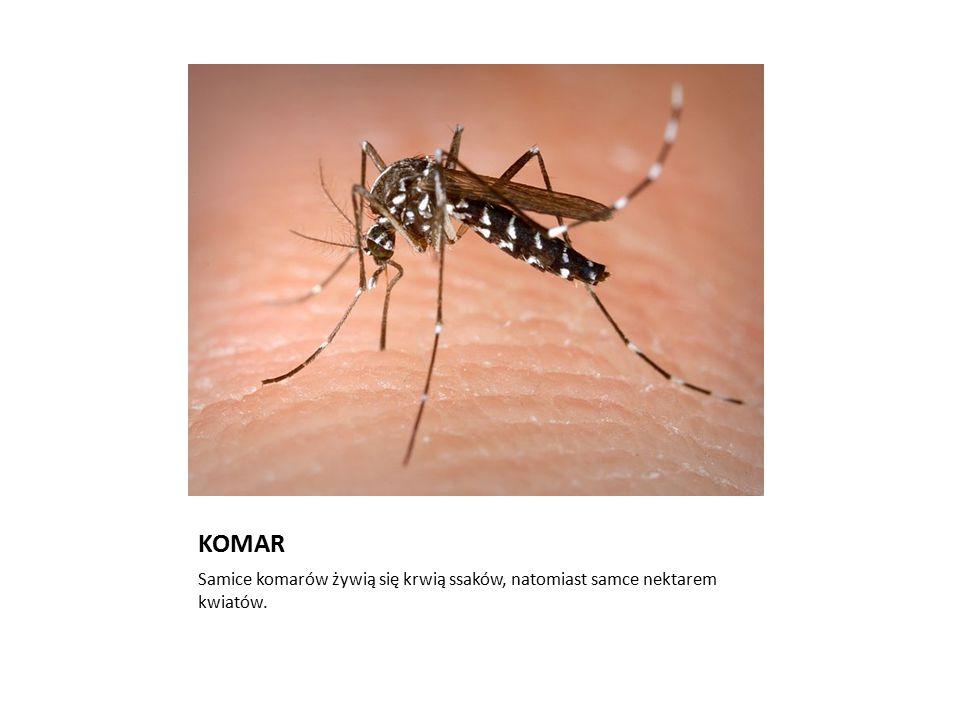 KOMAR Samice komarów żywią się krwią ssaków, natomiast samce nektarem kwiatów.