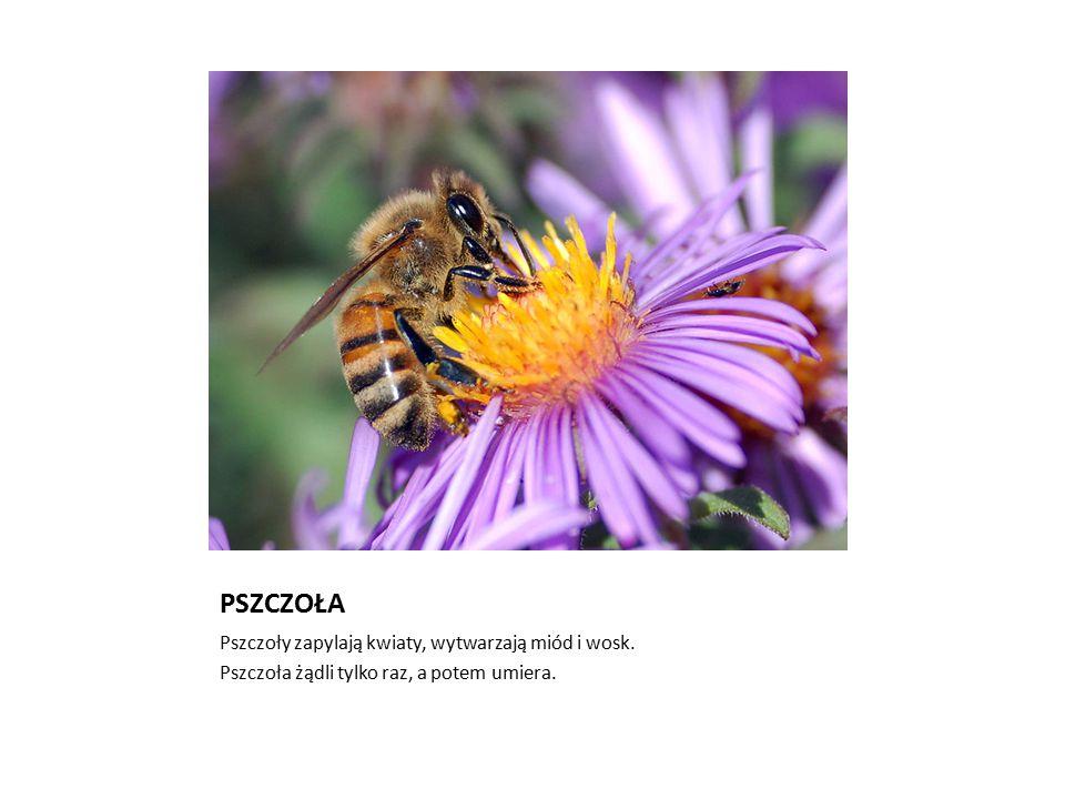 PSZCZOŁA Pszczoły zapylają kwiaty, wytwarzają miód i wosk.